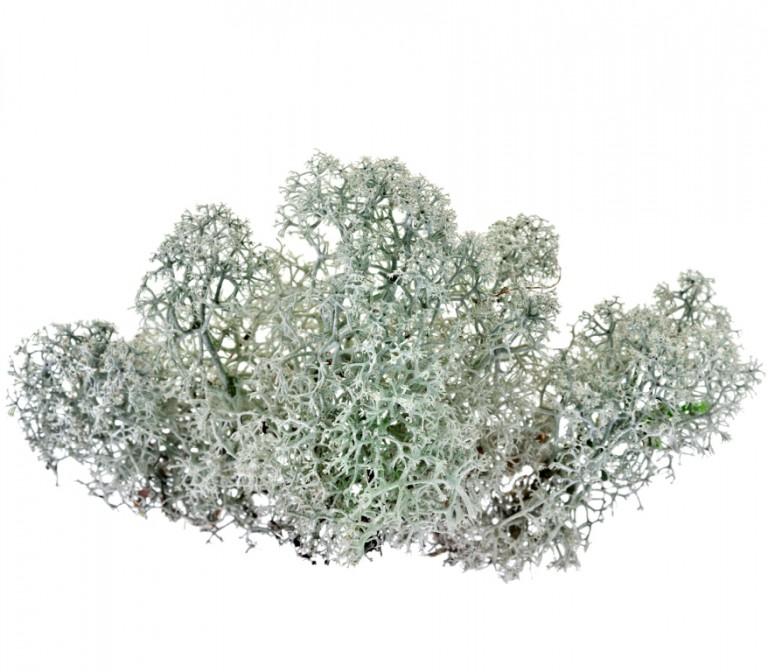 Le lichen boréal, source végétale de vitamine D3